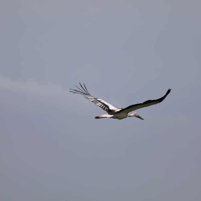 空を飛ぶコウノトリ