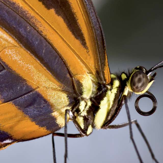 Monarch posing