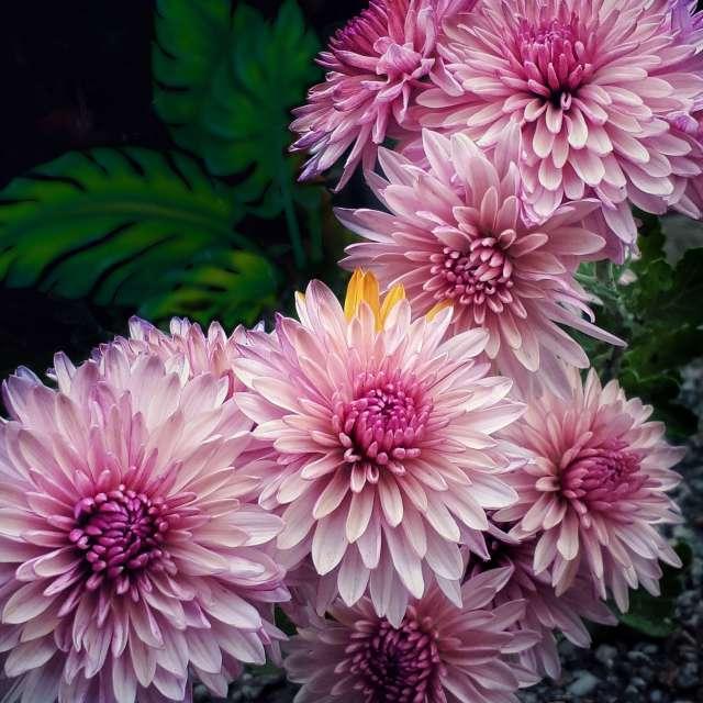 Gartenchrysantheme
