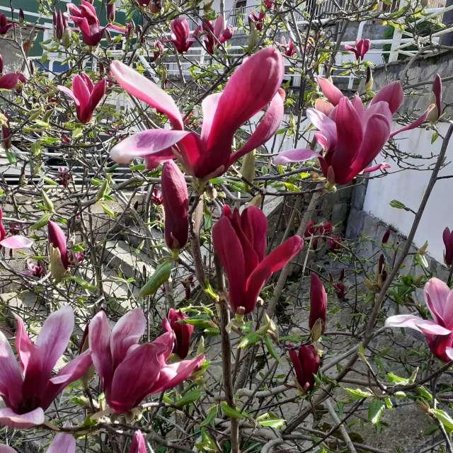 La flor de ciclamen violeta
