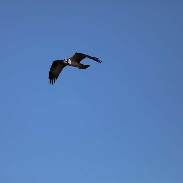 青空の中を飛んでいるミサゴ