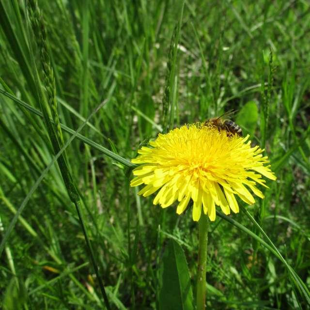 Dandelion&Bee