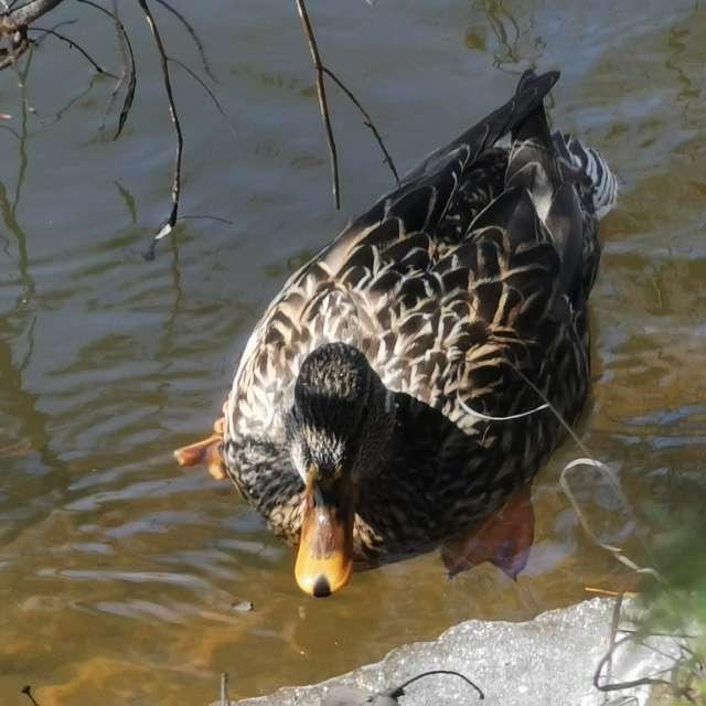 Canard sur bord riviere