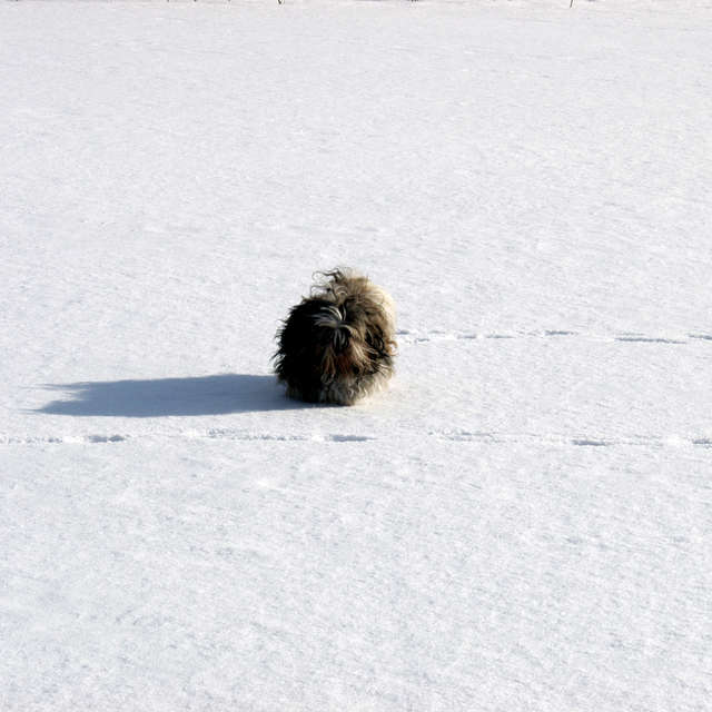 Shih-tzu on the snow