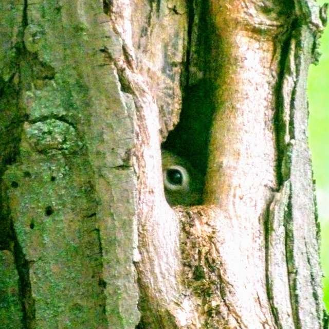 Squirrel Peeking from hole