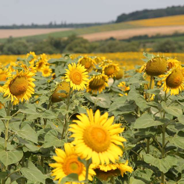 поле ярких желтых подсолнухов