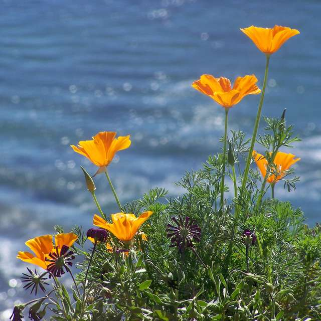 Poppies By The Sea