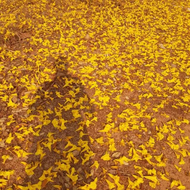 Folhas de Ypê Amarelo