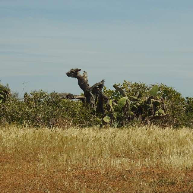 oude cactus