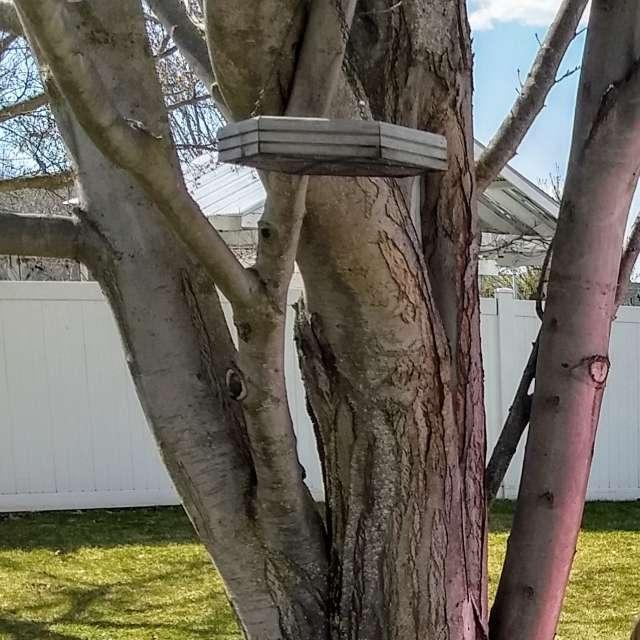 Backyard Maple