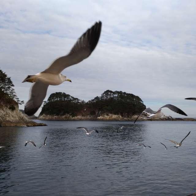 Black‐tailed gull / Iwate