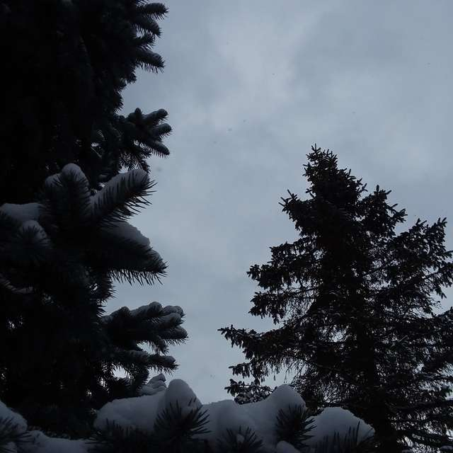 Cold and gloomy spruces in MI