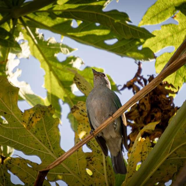 Pigeon on papaya tree