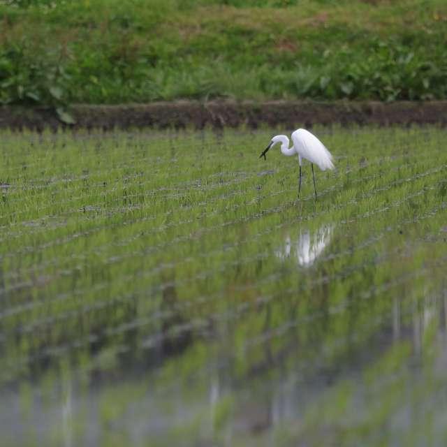 田んぼで捕食するダイサギ