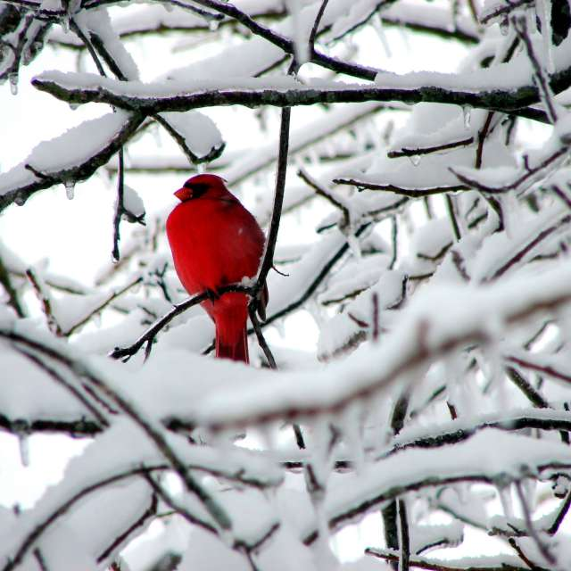 Red cardinal on snowy branch