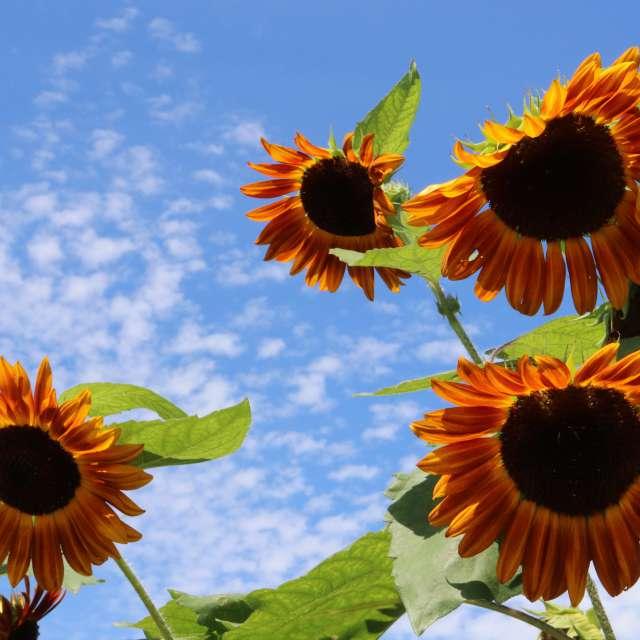向日葵の季節