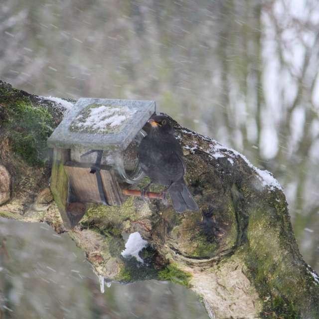 Amsel im Schnee