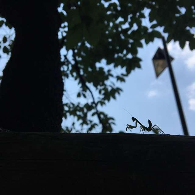 カマキリの子供です。小さいですが、元気に木を登っていました。
