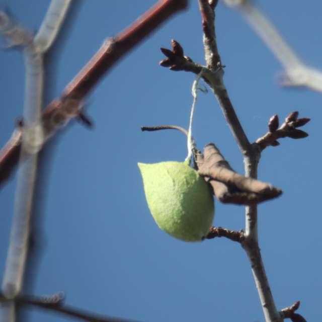 ウスタビガの蛹