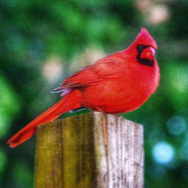 Cardinal on Fence Post