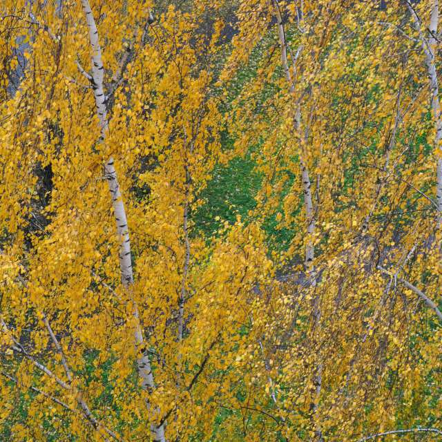 birch autumn view from above