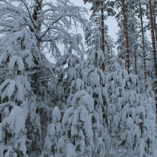 snow-cowered forest