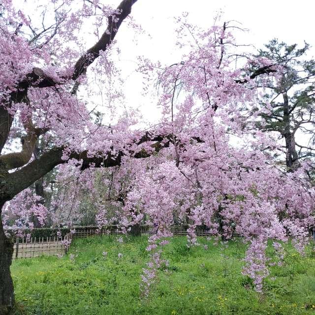 京都御所近衛邸枝垂れ桜