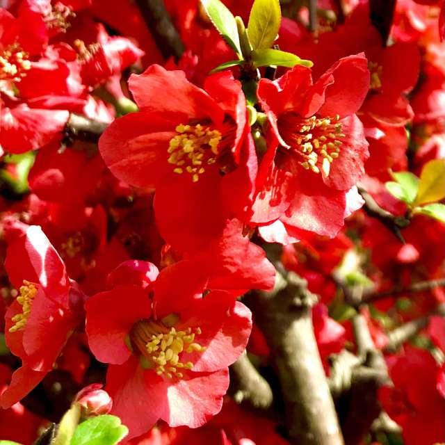 ぼけの花、実際にはもう少し鮮やかな赤色です。