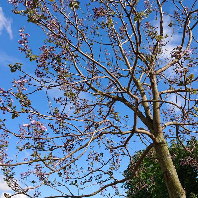 Flowering princess tree