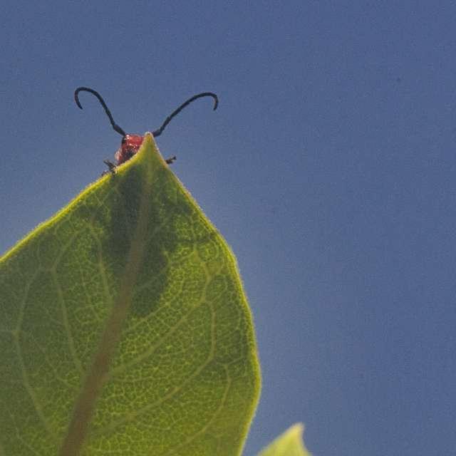 Red milkweed beetle peeking