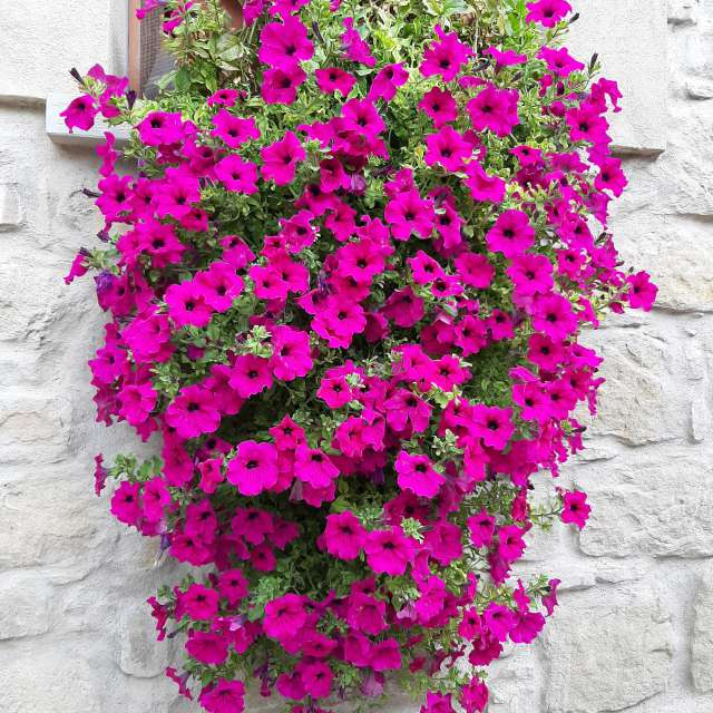 Pretty petunias flowers Italy