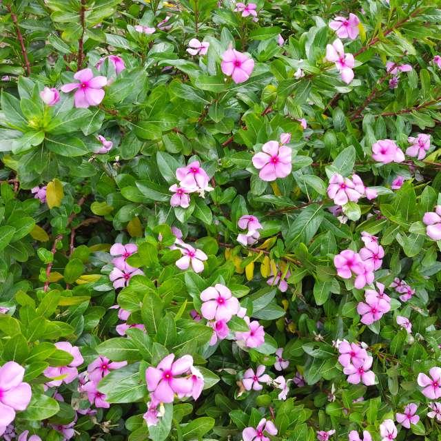 Star of Bethelhem infull bloom