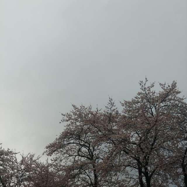 雨🌂上がりの早朝、サクラ🌸パート2