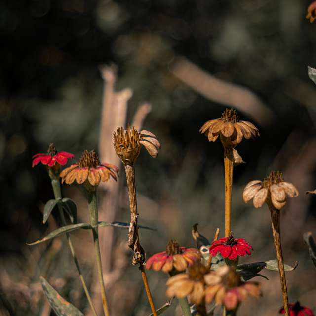 Dry red flowers