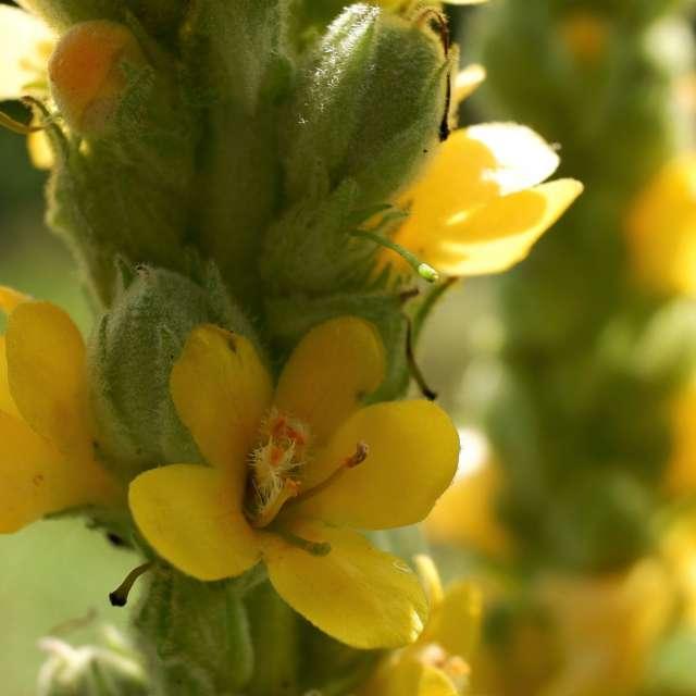 for Olena-13 /sun in bloom