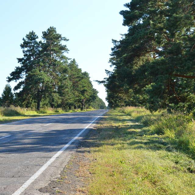 Сосны вдоль автодороги