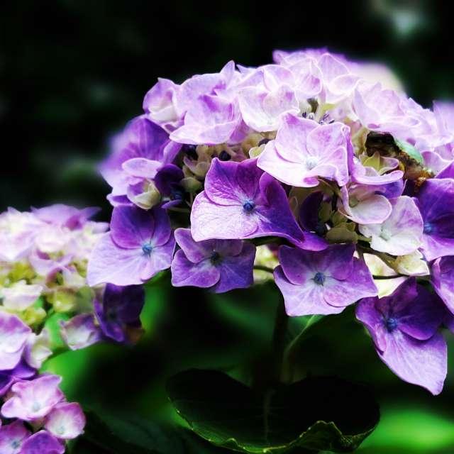 紫陽花にカエル