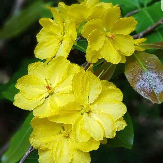 Hoa mai vietnam