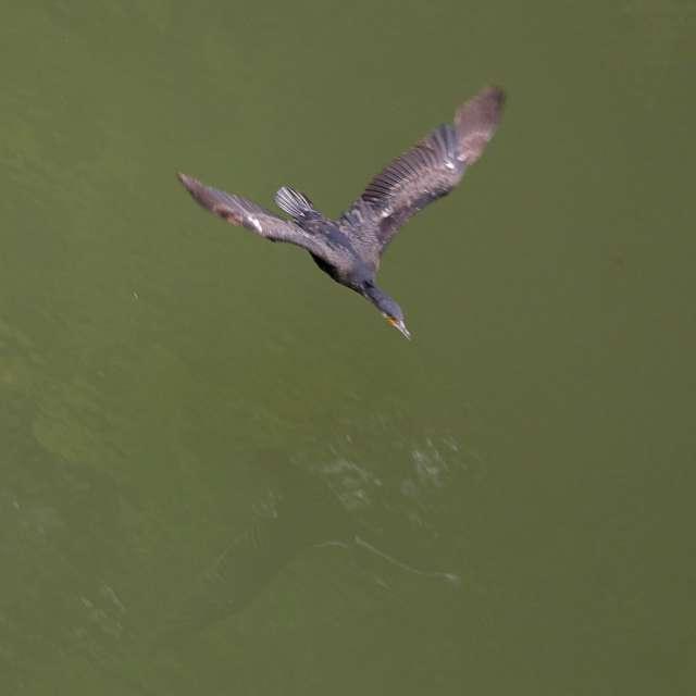 水面を飛ぶカワウ
