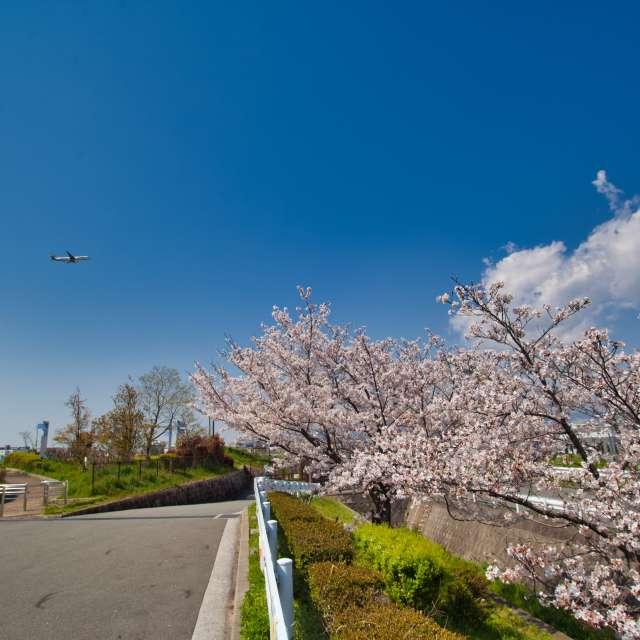 大阪国際空港横の公園の桜