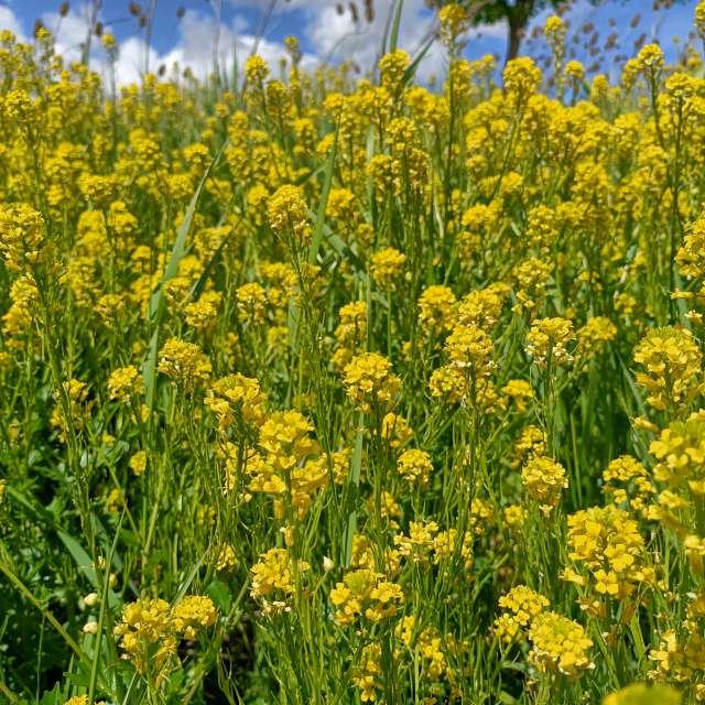 Sommer Sonne Blumenmeer