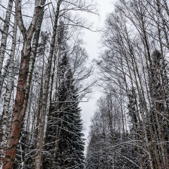 Russian Forest Area