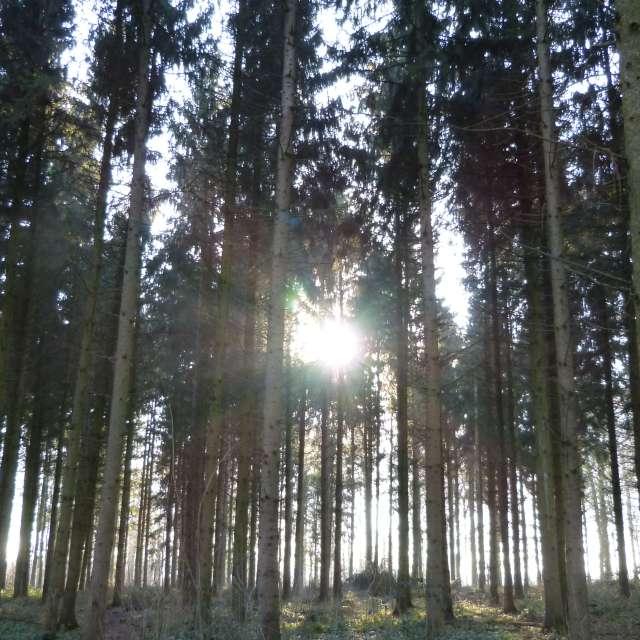 Sonne durch Nadelkronen