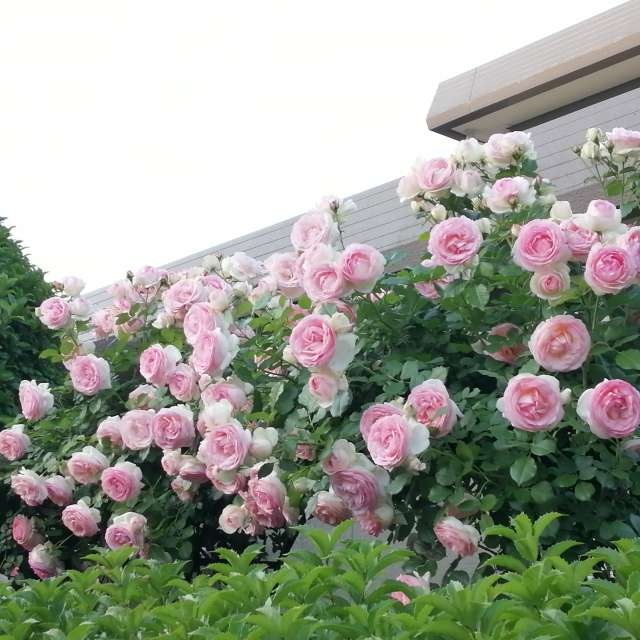 cloudy day and pink roses