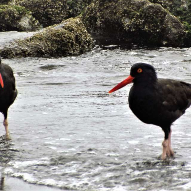 Oyster catchers On Shore