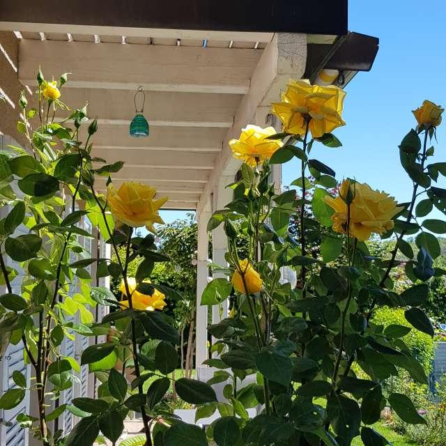 Gelbe Rosen beim Sitzplatz