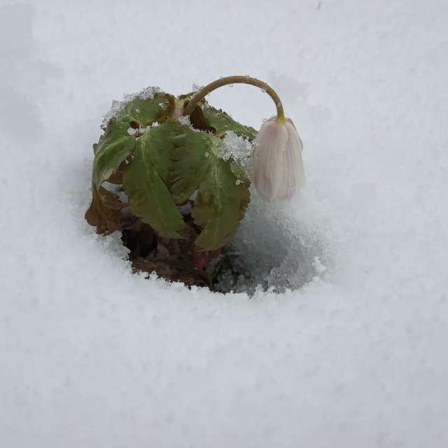 first forest snowdrop