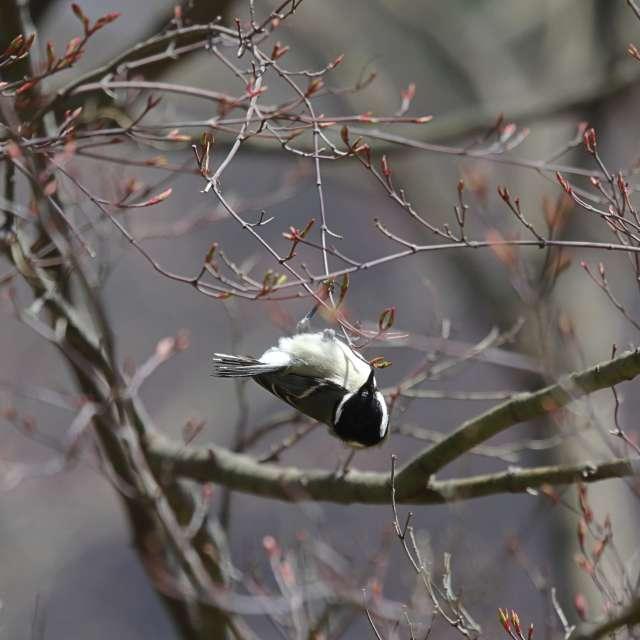 春の森のシジュウカラ