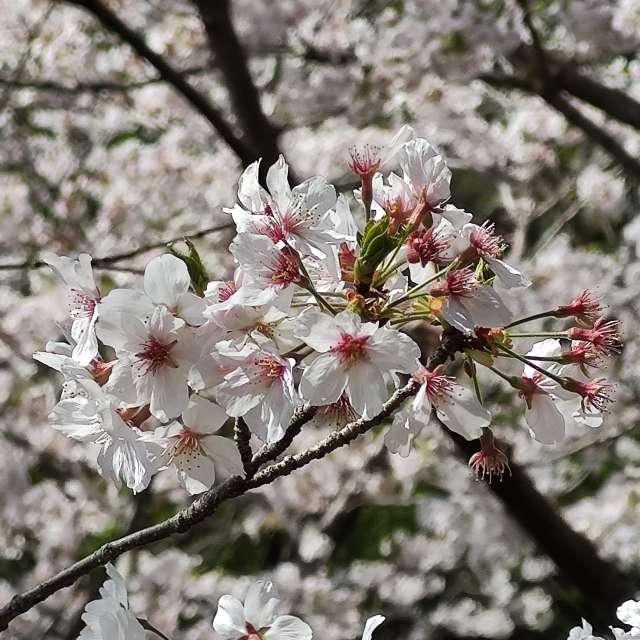 Sakura in Nagasaki