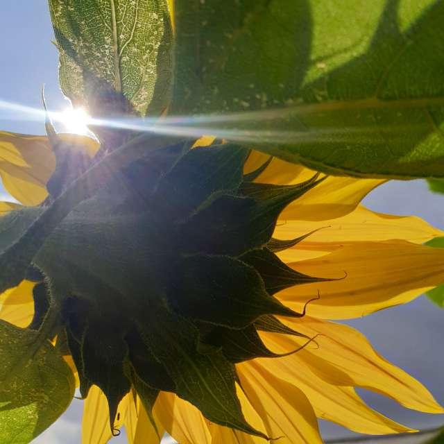 Noon sunflower